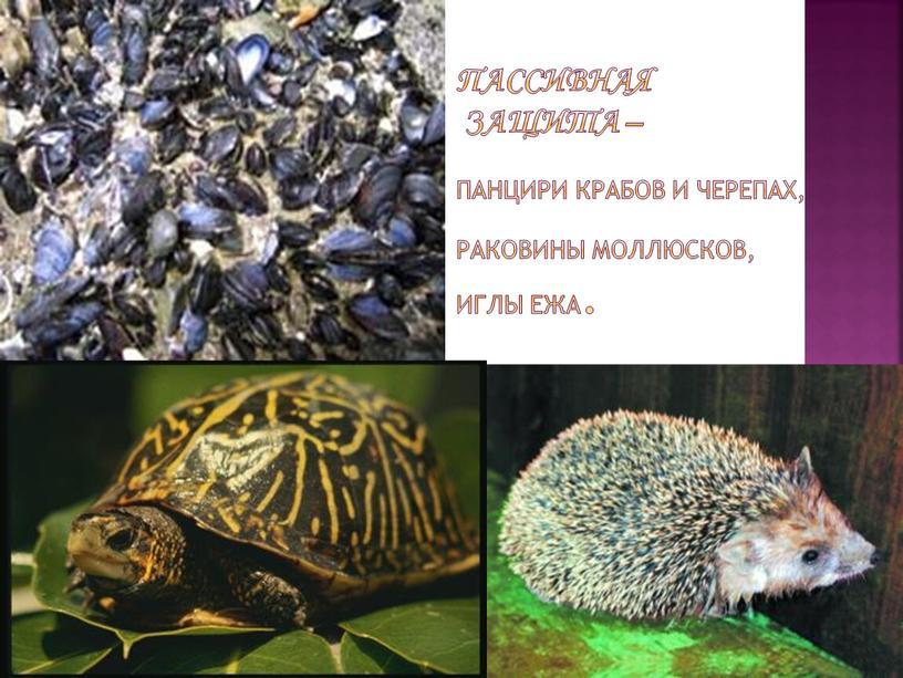 пассивная защита – панцири крабов и черепах, раковины моллюсков, иглы ежа.