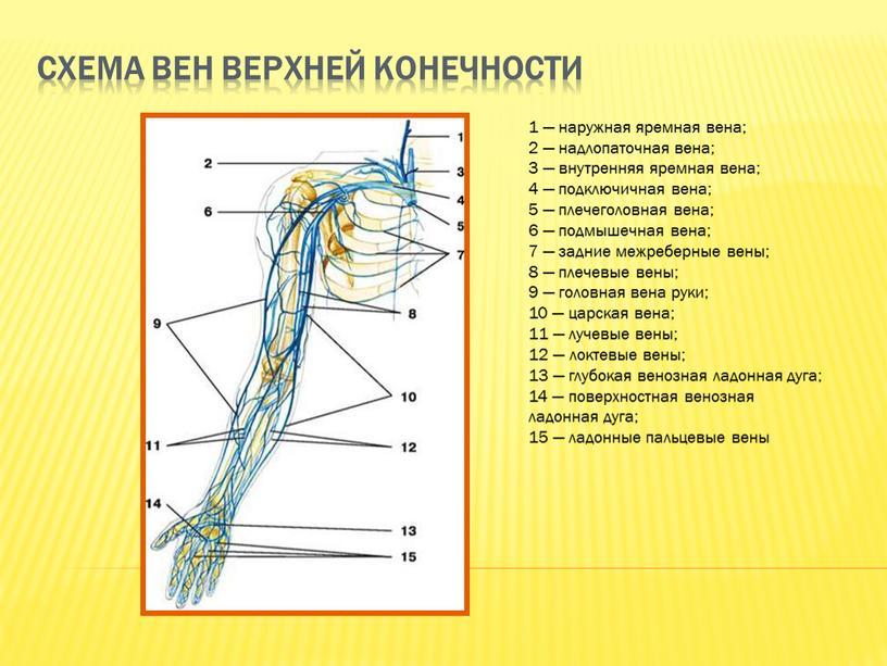 Схема вен верхней конечности 1 — наружная яремная вена; 2 — надлопаточная вена; 3 — внутренняя яремная вена; 4 — подключичная вена; 5 — плечеголовная…