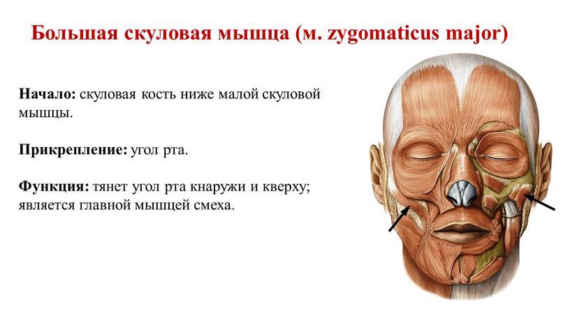 Большая скуловая мышца (м. zygomaticus major)