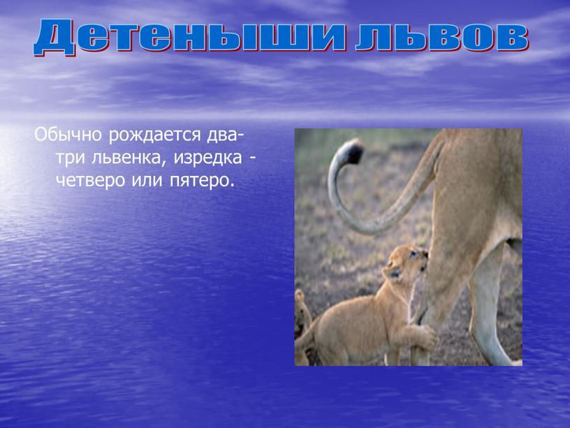 Обычно рождается два-три львенка, изредка - четверо или пятеро