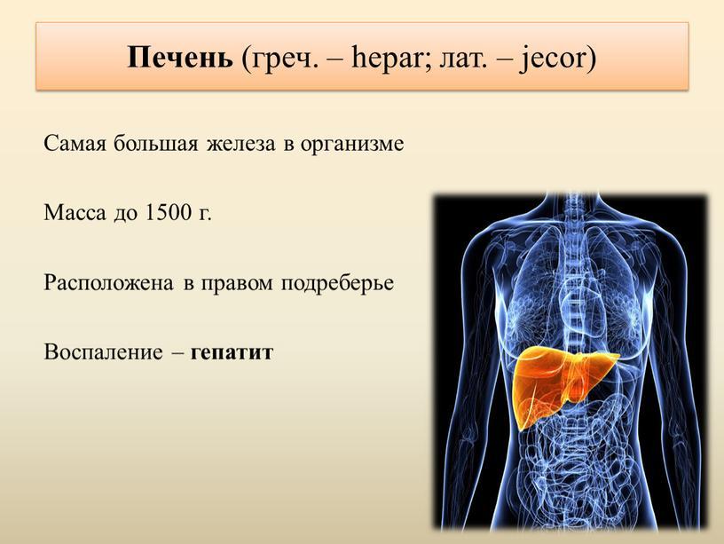 Печень (греч. – hepar; лат. – jecor)