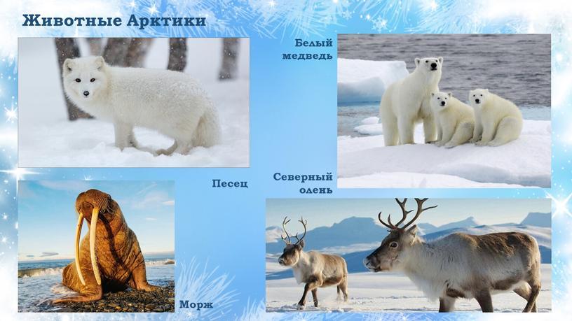 Животные Арктики Песец Морж Белый медведь