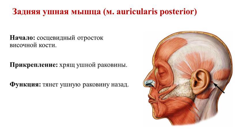 Задняя ушная мышца (м. auricularis posterior)