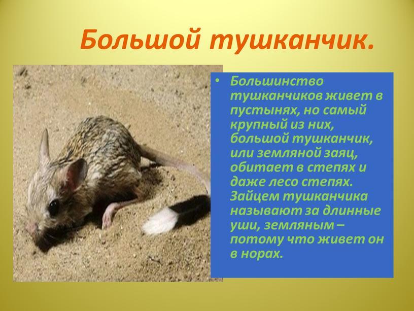 Большой тушканчик. Большинство тушканчиков живет в пустынях, но самый крупный из них, большой тушканчик, или земляной заяц, обитает в степях и даже лесо степях