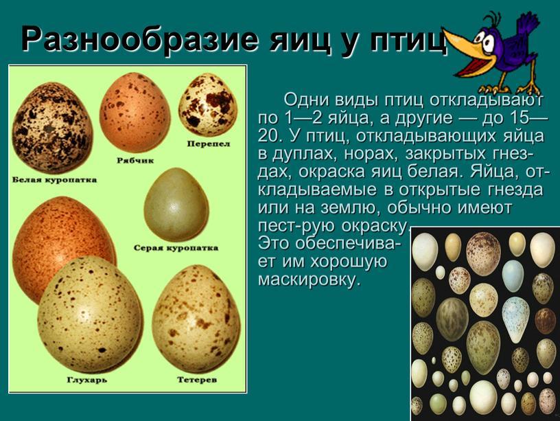 Разнообразие яиц у птиц Одни виды птиц откладывают по 1—2 яйца, а другие — до 15—20