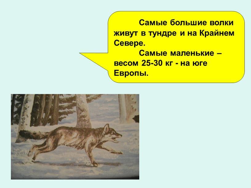 Самые большие волки живут в тундре и на