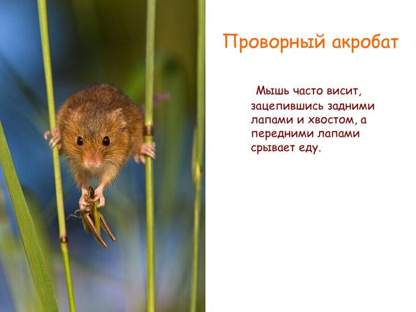 Мышь часто висит, зацепившись задними лапами и хвостом, а передними лапами срывает еду