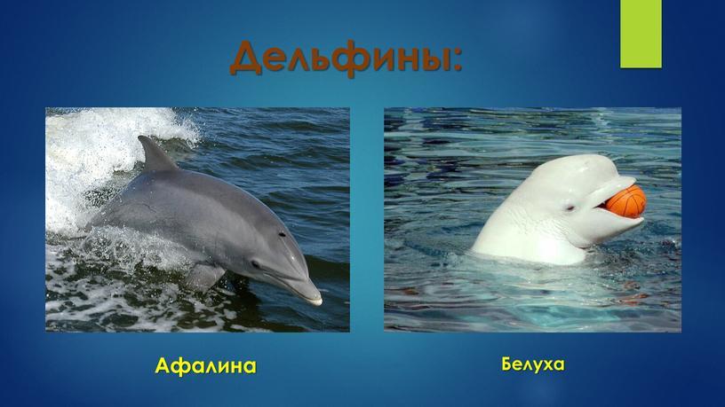 Дельфины: Афалина Белуха