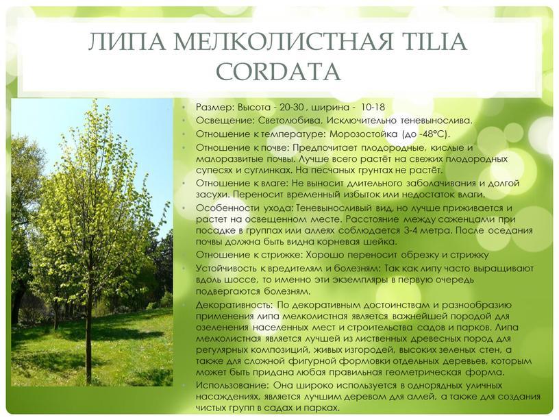 Липа мелколистная Tilia cordata