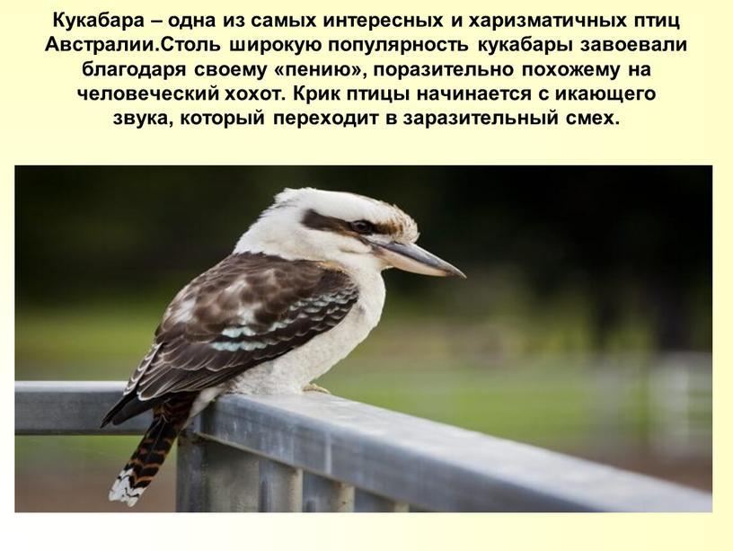 Кукабара – одна из самых интересных и харизматичных птиц