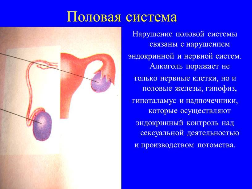 Половая система Нарушение половой системы связаны с нарушением эндокринной и нервной систем