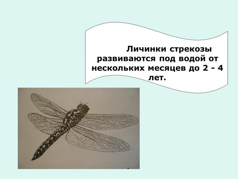 Личинки стрекозы развиваются под водой от нескольких месяцев до 2 - 4 лет