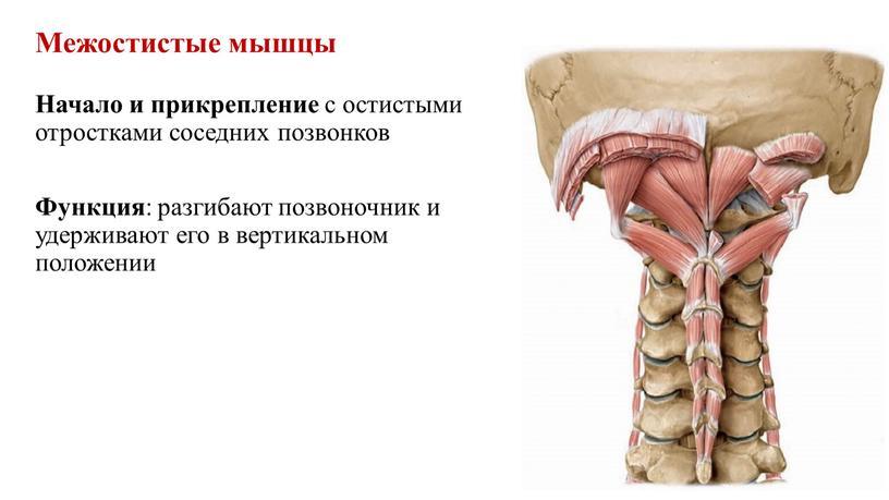 Межостистые мышцы Начало и прикрепление с остистыми отростками соседних позвонков