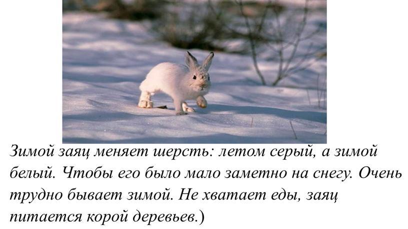Зимой заяц меняет шерсть: летом серый, а зимой белый