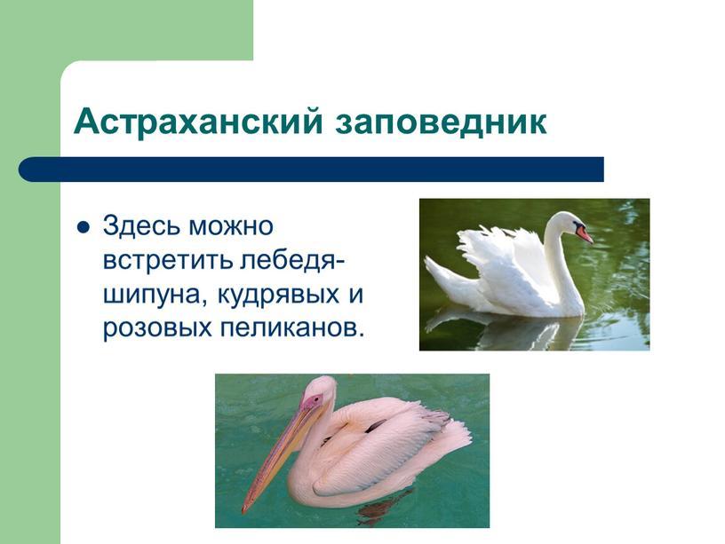 Астраханский заповедник Здесь можно встретить лебедя-шипуна, кудрявых и розовых пеликанов
