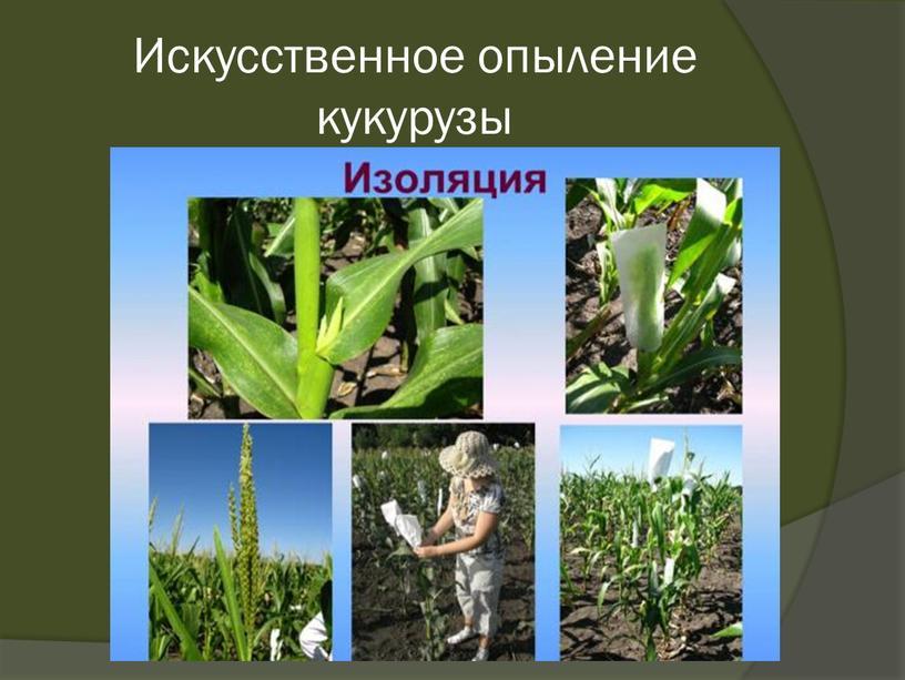 Искусственное опыление кукурузы