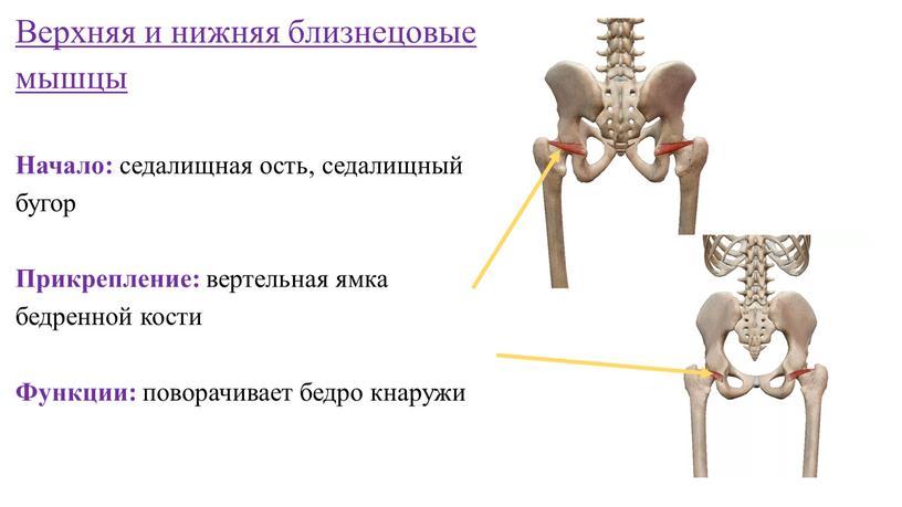 Верхняя и нижняя близнецовые мышцы