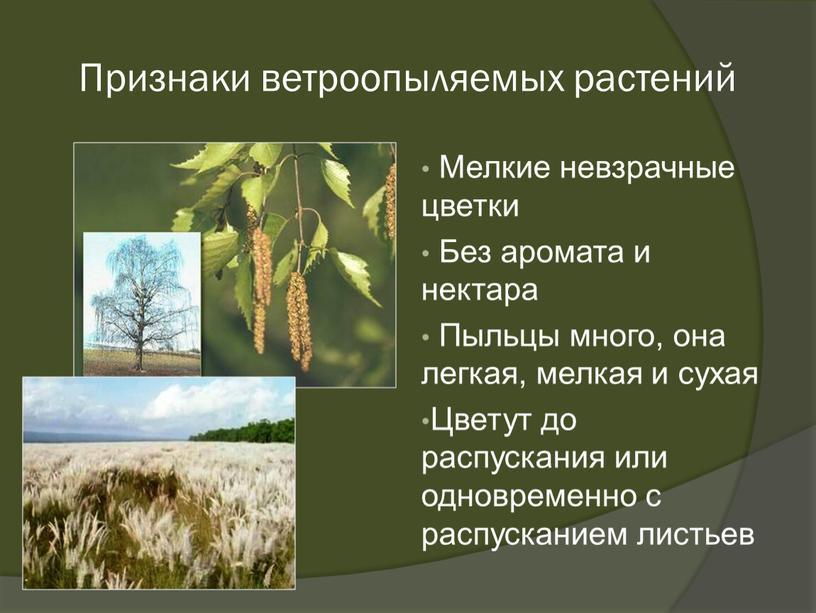 Признаки ветроопыляемых растений