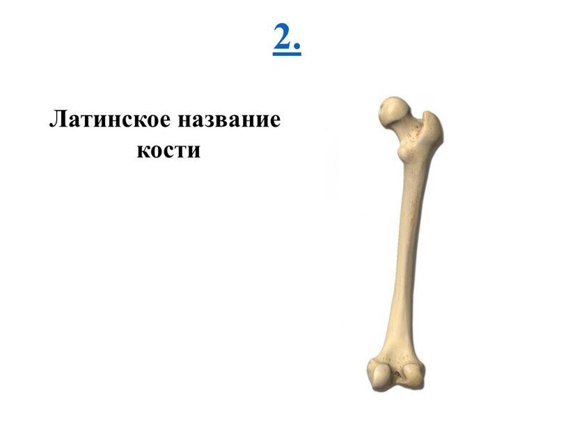 2. Латинское название кости