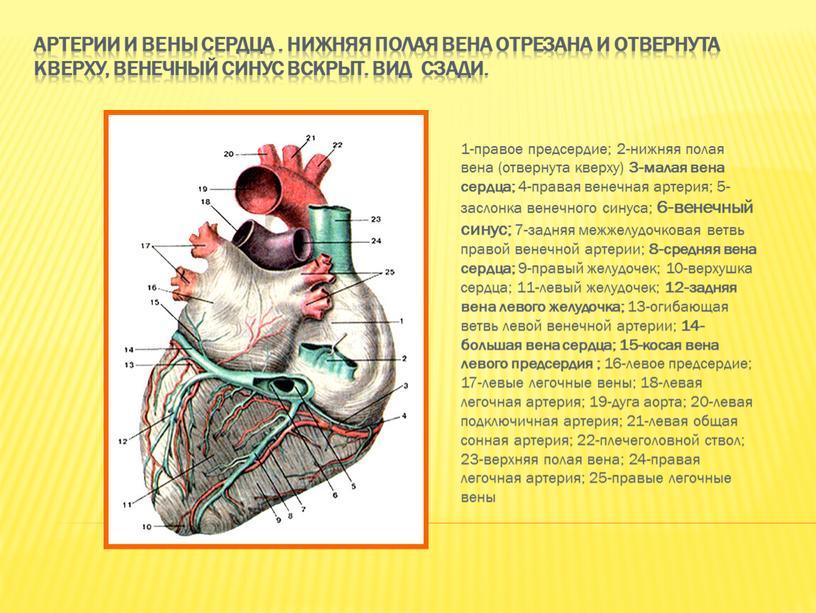 Артерии и вены сердца . Нижняя полая вена отрезана и отвернута кверху, венечный синус вскрыт