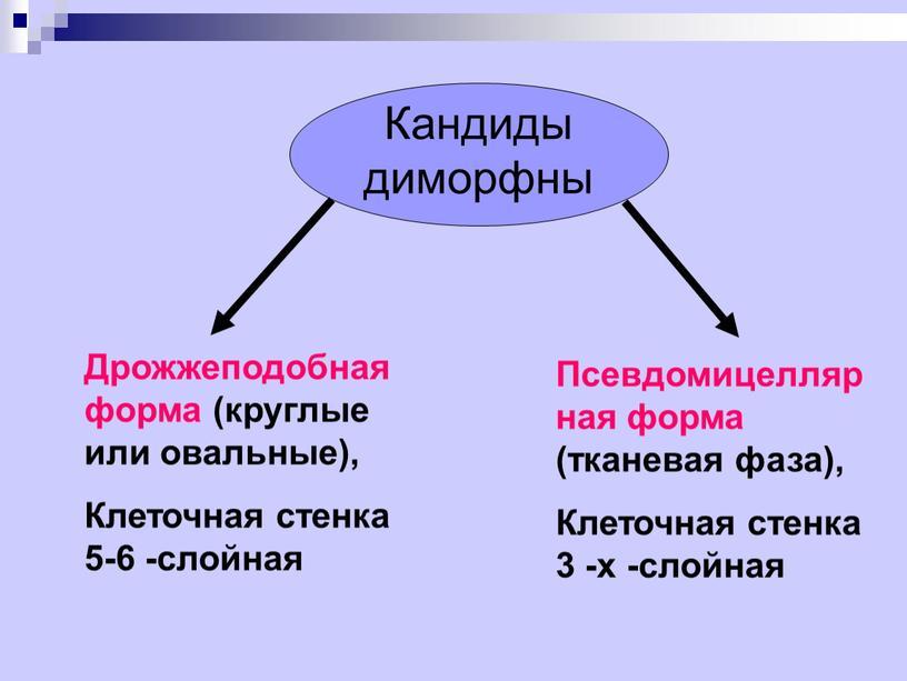 Кандиды диморфны Дрожжеподобная форма (круглые или овальные),
