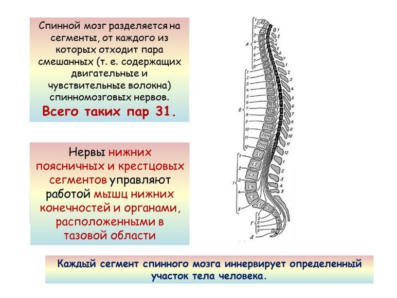 Спинной мозг разделяется на сегменты, от каждого из которых отходит пара смешанных (т