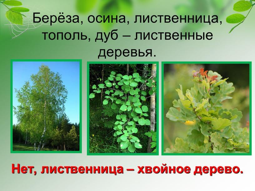 Берёза, осина, лиственница, тополь, дуб – лиственные деревья