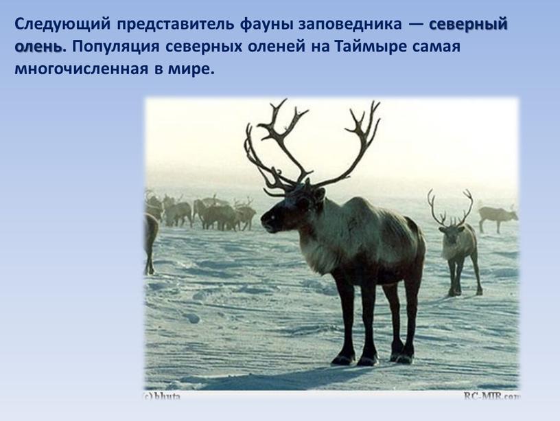 Следующий представитель фауны заповедника — северный олень