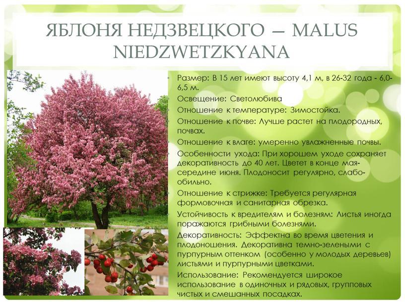 Яблоня Недзвецкого — Malus niedzwetzkyana