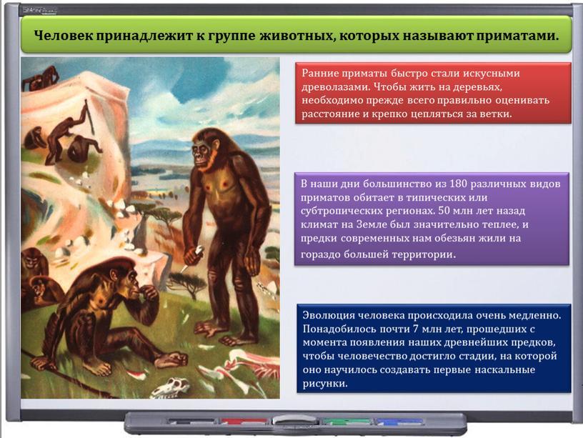 Человек принадлежит к группе животных, которых называют приматами