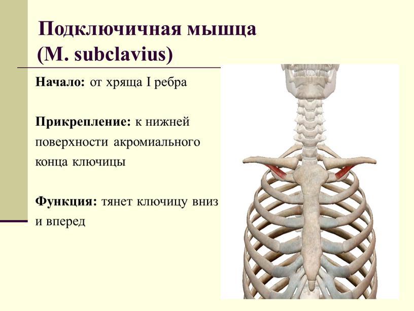 Подключичная мышца (M. subclavius)