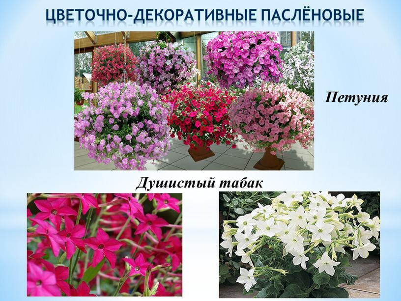 Цветочно-декоративные паслёновые