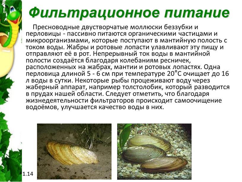 Фильтрационное питание Пресноводные двустворчатые моллюски беззубки и перловицы - пассивно питаются органическими частицами и микроорганизмами, которые поступают в мантийную полость с током воды