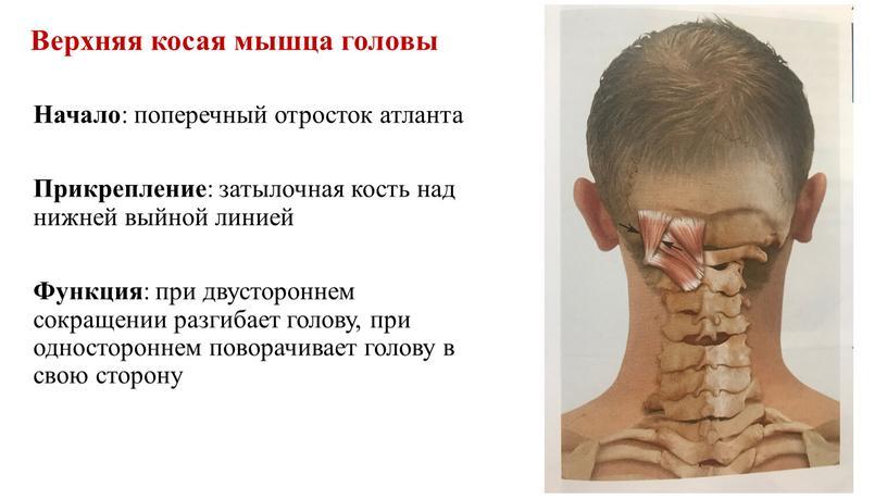 Верхняя косая мышца головы Начало : поперечный отросток атланта