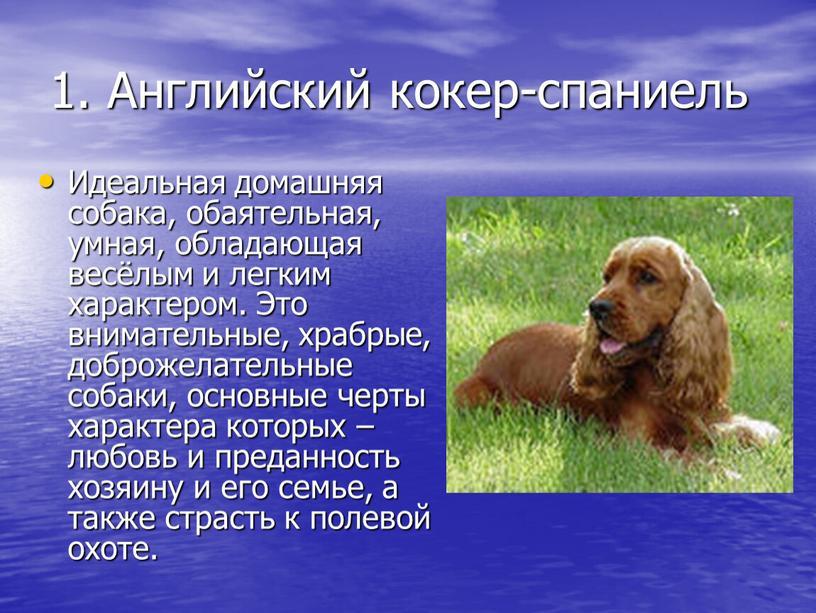 Английский кокер-спаниель Идеальная домашняя собака, обаятельная, умная, обладающая весёлым и легким характером