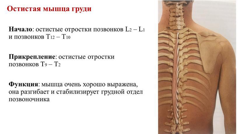 Остистая мышца груди Начало : остистые отростки позвонков
