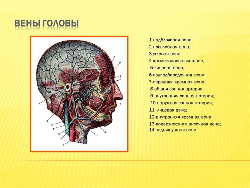 Вены головы 1-надблоковая вена; 2-носолобная вена; 3-угловая вена; 4-крыловидное сплетение; 5-лицевая вена; 6-подподбородочная вена; 7-передняя яремная вена; 8-общая сонная артерия; 9-внутренняя сонная артерия; 10-наружная сонная…
