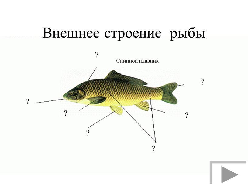 Внешнее строение рыбы Спинной плавник ? ? ? ? ? ? ?