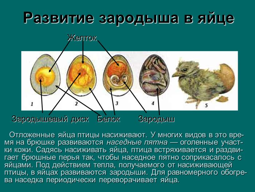 Развитие зародыша в яйце Отложенные яйца птицы насиживают