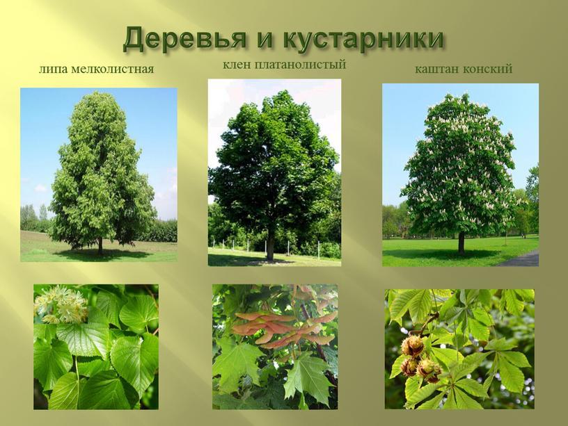 Деревья и кустарники липа мелколистная клен платанолистый каштан конский