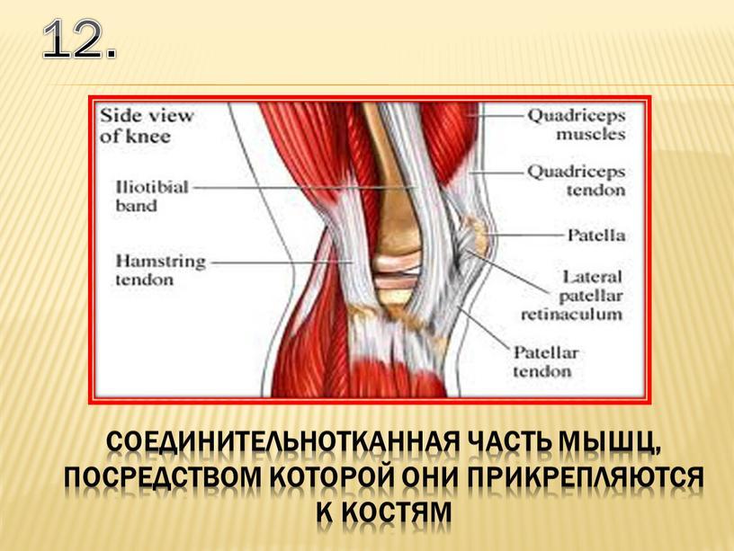 12. соединительнотканная часть мышц, посредством которой они прикрепляются к костям