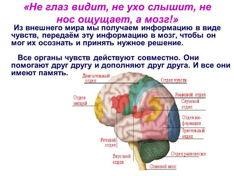 Не глаз видит, не ухо слышит, не нос ощущает, а мозг!»