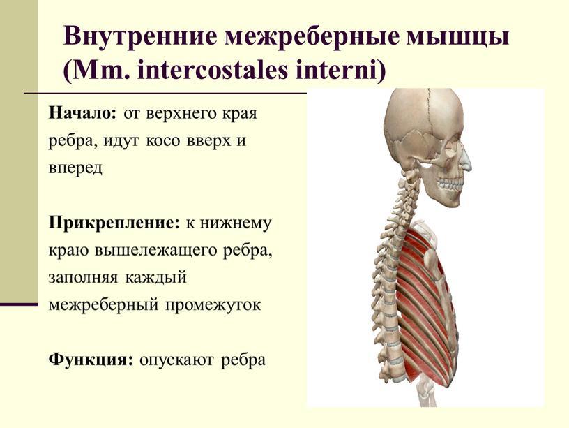 Внутренние межреберные мышцы (Mm