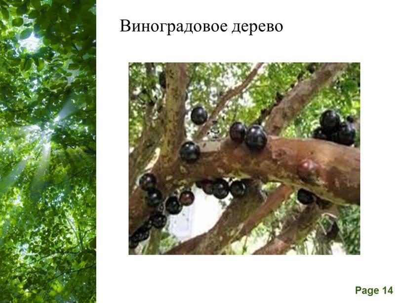 Виноградовое дерево