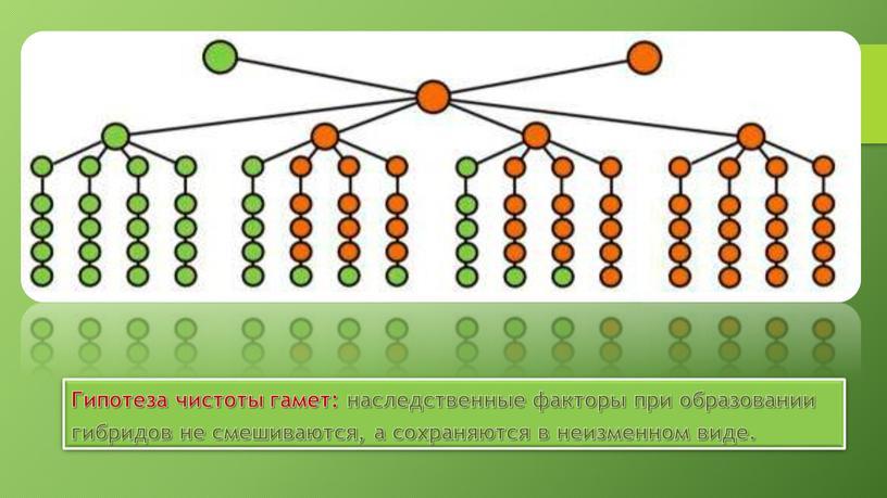 Гипотеза чистоты гамет: наследственные факторы при образовании гибридов не смешиваются, а сохраняются в неизменном виде