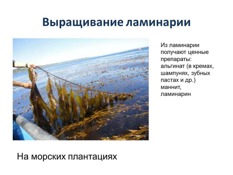 Выращивание ламинарии На морских плантациях