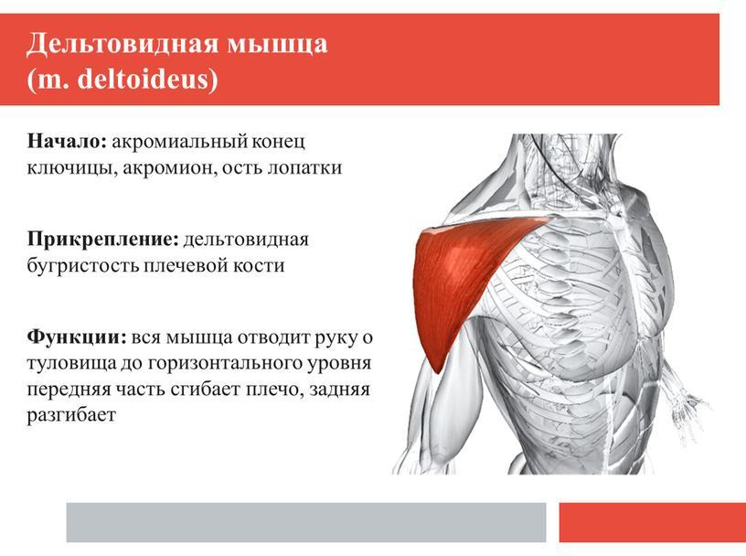 Дельтовидная мышца (m. deltoideus)
