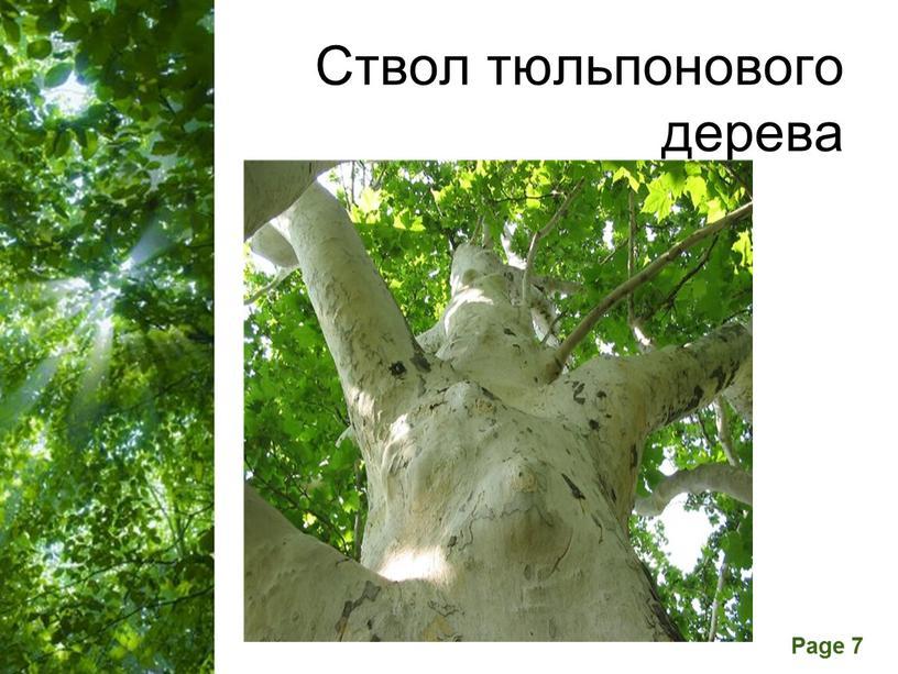 Ствол тюльпонового дерева