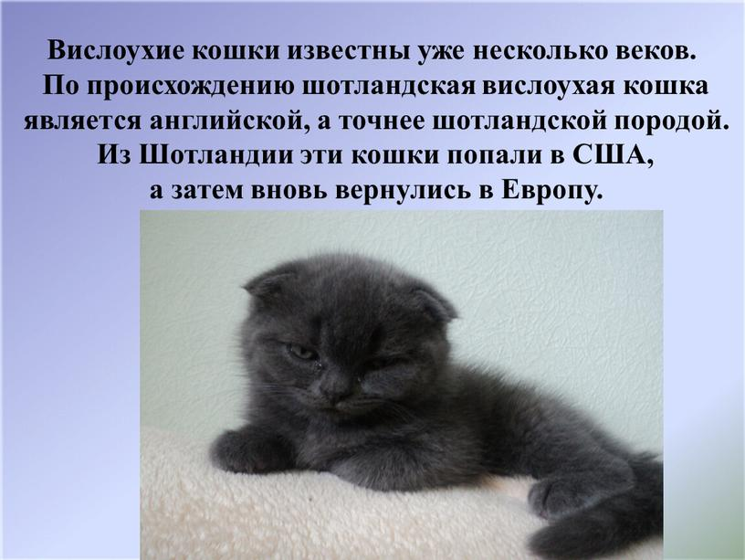 Вислоухие кошки известны уже несколько веков