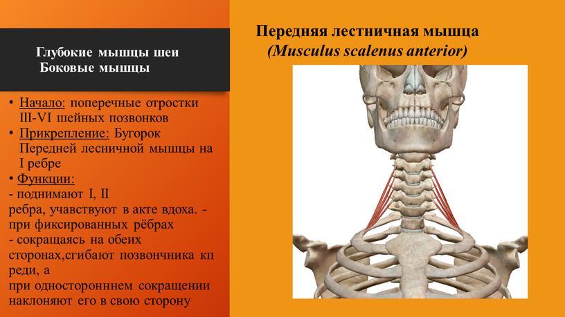 Глубокие мышцы шеи Боковые мышцы